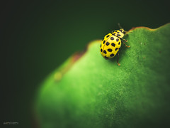 (N.H. || Photography) Tags: olympus omd em 10 m zuiko 60mm f28 macro makro closeup nature dof bokeh green yellow beetle bug ladybug