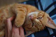 Please don't stop (Tomas hberg) Tags: cat katt kitten kattunge eyes purr scratch rub belly tired