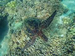viewed from above (bluewavechris) Tags: maui hawaii makena ocean water sea marine animal creature life reptile turtle shell flipper scales coral reef brown green swim underwater canon