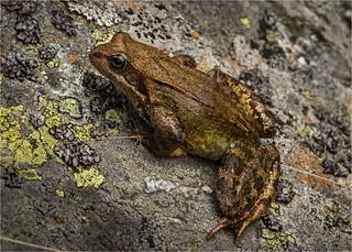 gli esperti dicono:  rana temporaria