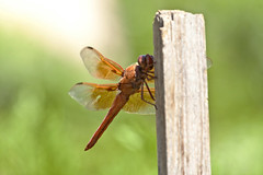 Flame Skimmer Dragonfly -- Male (Libellula saturata); Albuquerque, NM, Sandia Heights [Lou Feltz] (deserttoad) Tags: nature insect pond park dragonfly odonate skimmer newmexico