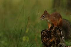 Red Squirrel (Derbyshire Harrier) Tags: 2016 redsquirrel log dew summer morning dawn finland martinselkosenerkeskuswildlifecentre borealforest martinselkosenerkeskus naturetrek woodland tiagaforest