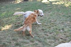 DSC_0301 (ghoulia) Tags: goldendoodle goldenretriever poodle labradoodle labrador rovercom dogvacay