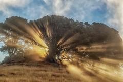Morgan Territory sun rays (Marc Crumpler (Ilikethenight)) Tags: landscape california sfbayarea eastbay contracostacounty morganterritory marccrumpler eastbayregionalparkdistrict ebparksok ebrpd sunrise tree hills sunrays grass canon canon6d 6d 24105mmf4l fog