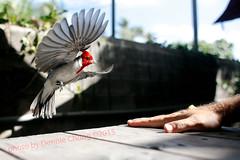 kalapawai birds_9965 (coolvinyl) Tags: birds kalapawaimarket kailua hawaii redcardinal