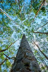 Trees (Tom Farrow) Tags: tree perspective forest trunk leaf green blue honeymoon bali munduk coffee plantation wide tall high branch