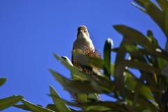 Reed-Warbler (Luke6876) Tags: australianreedwarbler reedwarbler bird animal wildlife australianwildlife