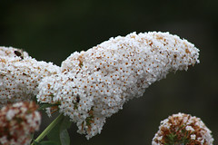 White Buddleia (NTG's pictures) Tags: reddish vale country park stockport cheshire white buddleia