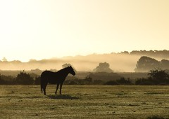 131/366 Silhouette of a Horse (aprilmcoady) Tags: horse silhouette backlit backlighting nature mist misty newforest forest woods trees sunrise animal wildanimal