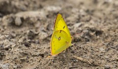 7K8A7988 (rpealit) Tags: scenery wildlife nature liberty marsh wallkill river national refuge clouded sulphur butterfly