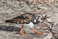 IMG_3045 (hotchilicat) Tags: stives turnstone