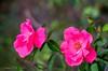 End of Summer Pink (Gabriel FW Koch) Tags: plant roses flowers outdoor canon garden pretty beauty beautiful outside closeup bokeh pink green fabulous petals 100mm lseries eos dof