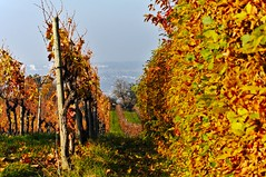 Vineyard reloaded (fnumrich) Tags: herbst herbst2011 vineyard weinberg autumn colors farben bltter leaves laub