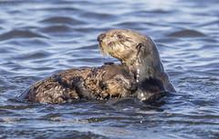 Sea Otter Mother holding Pup (Ken Phenicie Jr.) Tags: seaotter mother holding pup mosslanding