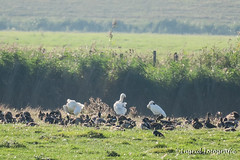 Texel september 2016 (Ingrid Fotografie) Tags: ingridfotografie lancasterdijk lepelaar natuurenlandschap plaats texel texel2016 vakantie vogels weiland