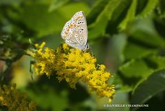DSC_3377w Papillon bleu (Danielle Champagne) Tags: papillons butterfly argusbleu insectes insects parcdesrapides nature