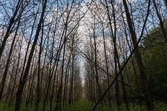 Like antennas (Ir3nicus) Tags: nikond750 dslr germany deutschland niederrhein outdoor forest trees trunks sky clouds
