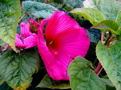 Autumn hibiscus (EcoSnake) Tags: hibiscus flowers blooms september franksyard