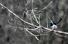 IMG 7467.2 Blue Wren at the Avenue Road. (Eminpee Fotography) Tags: nature birds bush bluewren glenugie