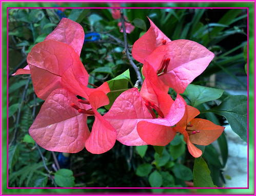 Bougainvilleas...looks like wings of butterflies :)