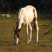 Otro caballo, medio flaco este, comiendo yerba en Vega de Palma, Camajuaní, Cuba - 2007