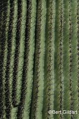 Saguaro (2 of 2)