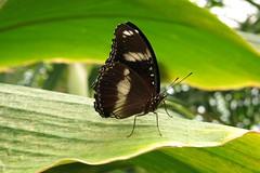 Wildlife Sydney Zoo - #3 (Christopher Yardin) Tags: butterfly insect zoo sydney australianwildlife