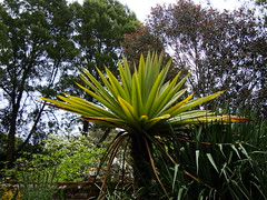 Cordyline indivisa (c.young) Tags: newzealand cornwall nt nationaltrust trengwainton cordyline asparagaceae indivisa trengwaintongardens cordylineindivisa