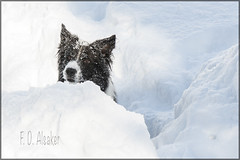 _FD10474 Snowdog [explored Feb 16, 2013 #432] (fd_alsaker (on and off)) Tags: kandersteg winterschneehund