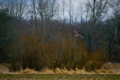 Hawk Flying Over a Field at Nisqually Wildlife Refuge (Paul T. Marsh/PositivePaul) Tags: trees color bird animal flying hawk raptor olympia pacificnorthwest manualfocus birdsofprey birdinflight nisquallywildliferefuge supertelephoto 2013 animalbehavior fujis3pro manualmetering lightroom3 wwwpaulmphotographycom paulmarshphotography nikon400mmf35ais