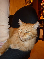 P1000304  I say this chair is MINE! (drayy) Tags: orange cat ginger chair soft fluffy squeeze mainecoon push neko invade invasion ggg pushing dominant assertive squeezing cc200 cc100 oreengeness thebiggestgroupwithonlycats