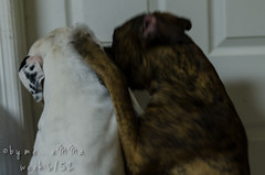 6/52 {strength} (by me emma) Tags: pet home dogs photography nikon dj photographer boxer maia strength ronco 652 project52 thisisourlife d7000 painthemoon