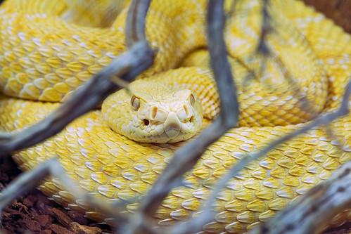 Nice albino snake