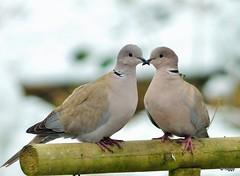 Collard Doves - 'Love Birds' (higgy50) Tags: wedding love marriage valentines lovebirds doves asymboloflove nikonaf300mmf4ed higgycollard northsomersetwildlifeandnaturephotography