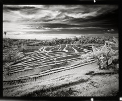Infrared Patterns (tsiklonaut) Tags: sky bw bali 120 film field analog indonesia landscape asian asia pattern glow rice natural pentax drum patterns tube culture dramatic artificial scan filter infrared manmade diafine environment roll glowing medium format analogue 6x7 southeast agriculture care 3000 indonesian 67   coexistance    drumscan pmt     infrapuna maastik  heliopan  indoneesia      scanview scanmate  photomultiplier ir715 balinesia nonccd nocmos   riisipld riisipllud