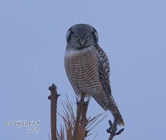 Northern Hawk Owl (Steve Gilchrist) Tags: winter wild ontario canada canon hawk  hamilton s 7d owl northern sg gilchrist wildbirds northernhawkowl specanimal