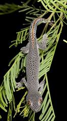 Golden-tailed Gecko (Strophurus taenicauda) (Gus McNab) Tags: strophurustaenicauda strophurustaenicaudataenicauda