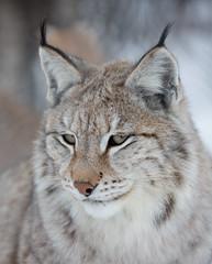 Lynx portrait (CecilieSonstebyPhotography) Tags: wild portrait cat canon ngc npc lynx gaupe langedrag catfamily eurasianlynx ef100mmf28l ruby5