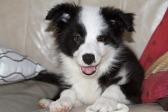 Katie (kw2p) Tags: dogs puppy puppies collie canine bordercollie explored explored20130304