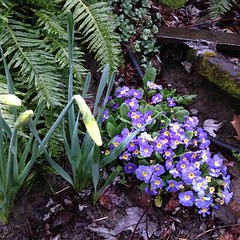 """#promise #spring #blue #primroses #daffodil #garden #morning #pdx #pnw • <a style=""""font-size:0.8em;"""" href=""""https://www.flickr.com/photos/61640076@N04/8535985529/"""" target=""""_blank"""">View on Flickr</a>"""