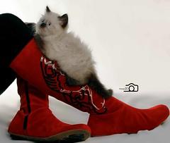 Cat9661 (84) (Cat9661) Tags: animals cat picture حيوانات مون قطط هاف بسة فيس شيرازي بيكي بساس هملايا