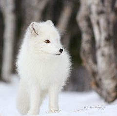 White Fox (Mrscurlyhead) Tags: winter white snow animal norway forest canon arctic fox endangered langedrag arcticfox alopexlagopus polarfox whitefox snowfox canoneos60d