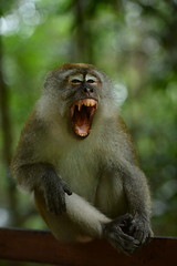 Monkey yawning at Mc Ritchie (Nicolas Lannuzel) Tags: nature animal monkey singapore asia places mamal mcritchie nikond600 nikonnikkor70200mmf28afsvr2