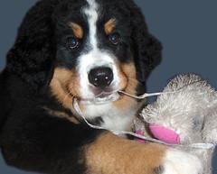 Puppy baby (Jurmika) Tags: dog pet loving puppy toy lovely bernesemountaindog bernesepuppy