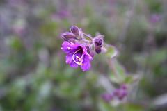 Mirabilis laevis var. crassifolia (Nyctaginaceae) (Modernary) Tags: flower torreypinesstatereserve nyctaginaceae 6270 mirabilislaevis mirabilislaevisvarcrassifolia coastalwishbone