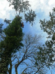 Looking up at tree surgeon in canopy of a Lawson's cypress (Chamaecyparis lawsoniana) (Lasting Spring) Tags: treesilhouette cornwall branches chainsaw treefelling treeclimbing arborist treeremoval treesurgeon uptoncross lawsonscypress lastingspring