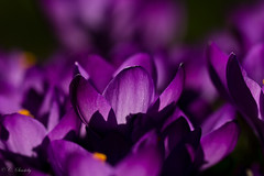 Spring from my archive (CecilieSonstebyPhotography) Tags: flowers light sunlight flower macro oslo closeup canon march petals spring purple outdoor crocus petal botanicalgarden canoneos botaniskhage vår ef100mm macro100mm canon60d canoneos60d