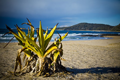 I survive (Nuxis [Davide]) Tags: sea plant beach newsouthwales a77 sonyalpha77