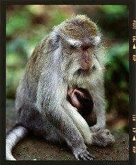 Sleeping Mother (tsiklonaut) Tags: travel sleeping bali baby 120 film analog fur monkey holding furry asia breast fuji feeding pentax drum mother scan experience ape roll medium format analogue 6x7 southeast 3000 provia 67 kami discover  macaque  moter  drumscan pmt 400x  rxp  indoneesia  photomultipliertube scanview scanmate balinesia slx2001