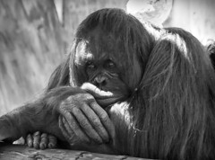 in thought (psyberartist) Tags: portrait animals tampa zoo florida orangutan monkeys apes primates lowryparkzoo